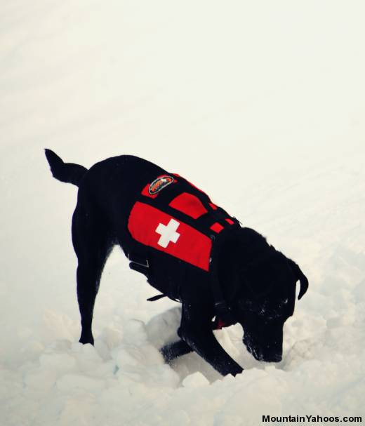 Avalanche Rescue Dogs - digging